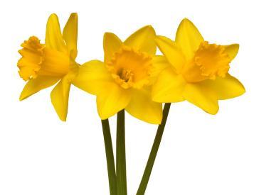 Bright yellow daffodil